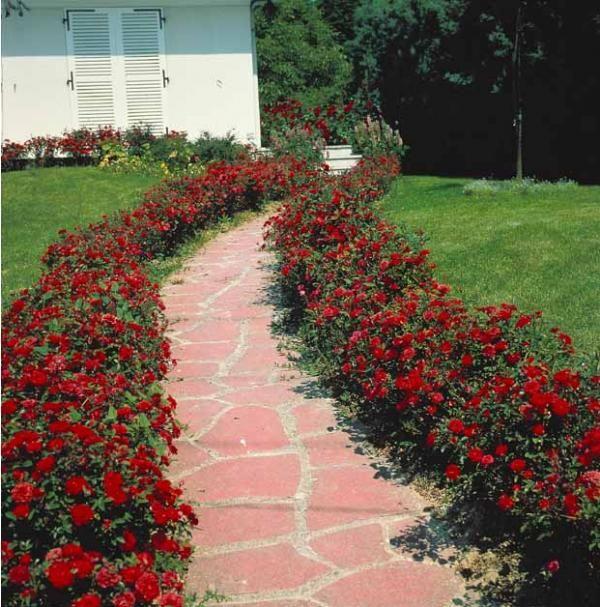 mûre 'dirksen' | rosier, massif et rouge