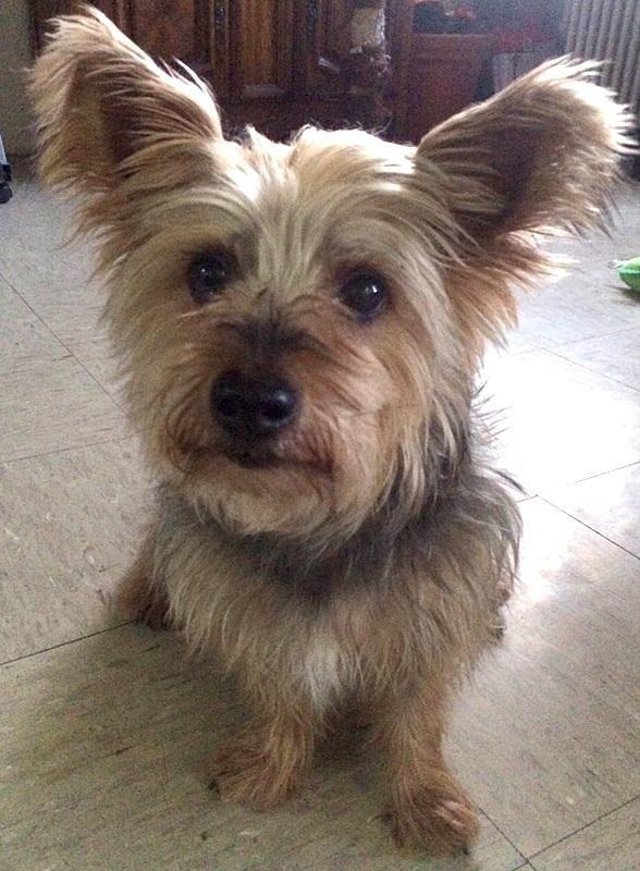 Adopt Paquito On Pets Yorkie Dog Photos