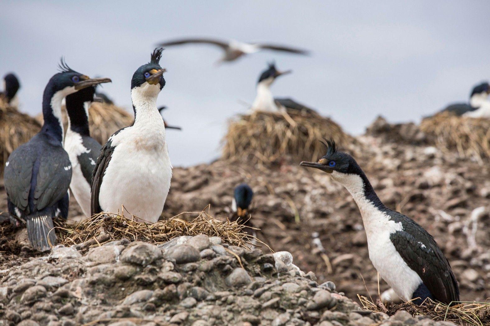 cormoranes rey en los Islotes Tuckers, vistos desde el zodíaco en movimiento de Stella Australis