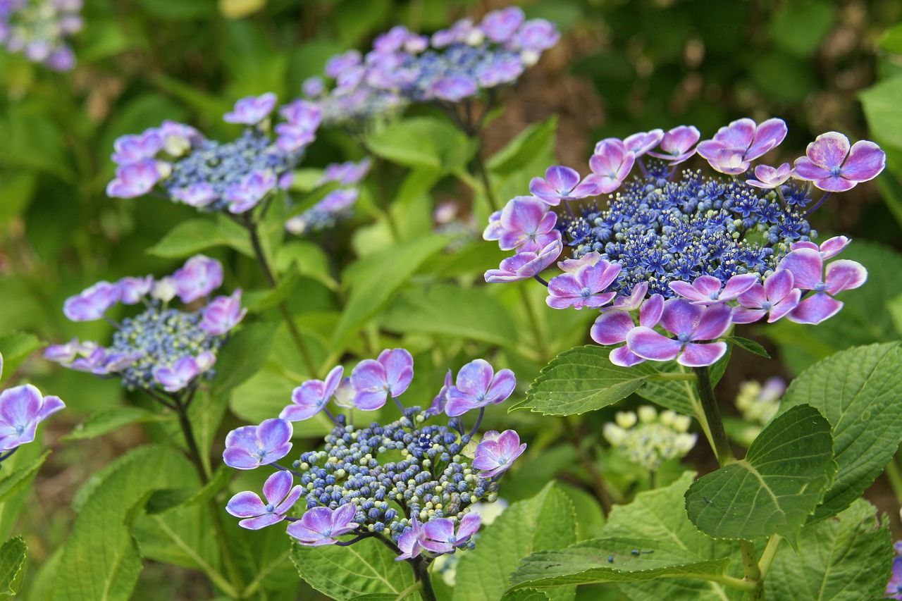 Free Image on Pixabay Hydrangea, Flower, Japan in 2020