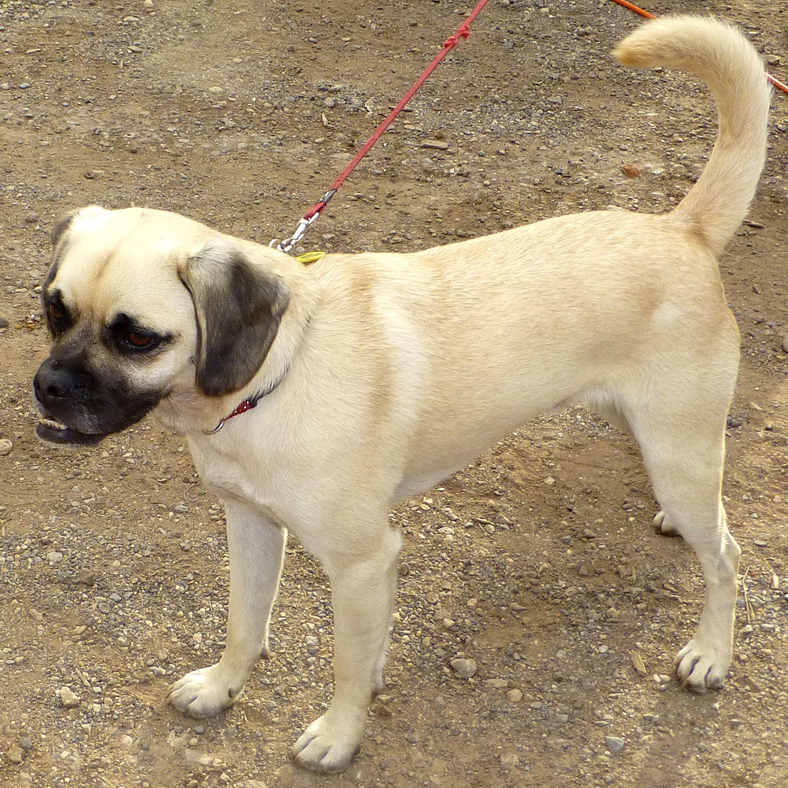 A New Dog Breed Pug X Mini Labradoodle Gorgeous Dog Breeds