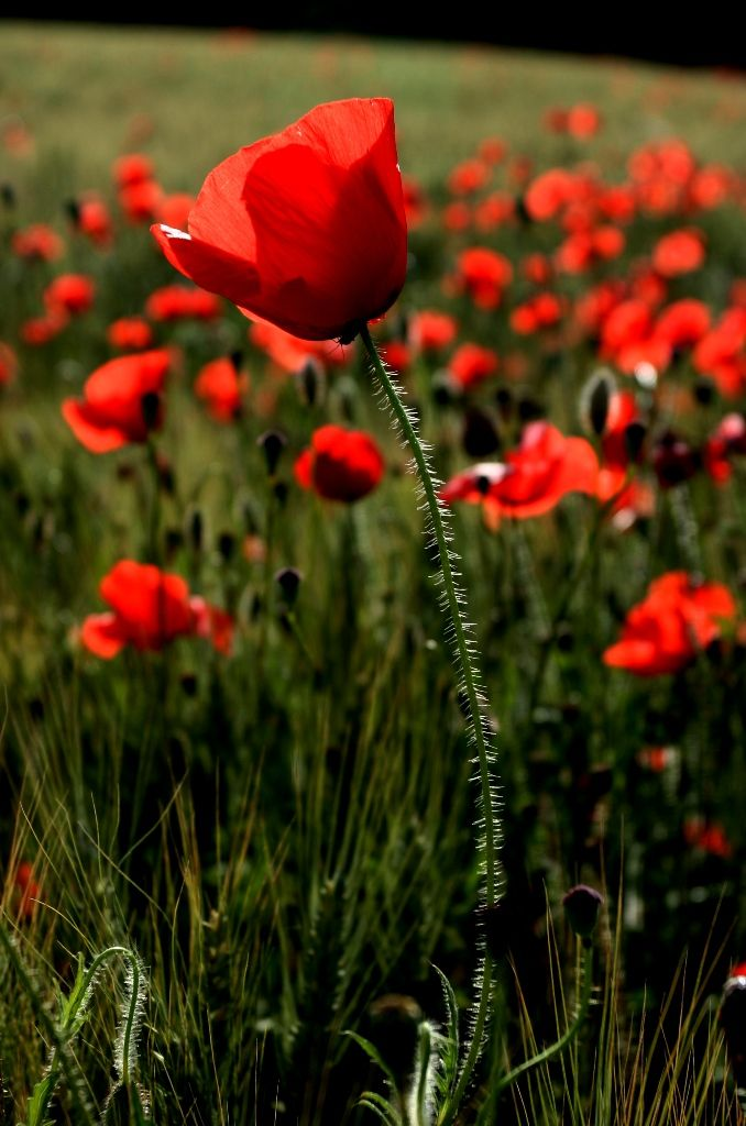 Field Of Poppies Looks So Awemazing Virtual Flowers Poppy Flower Beautiful Flowers