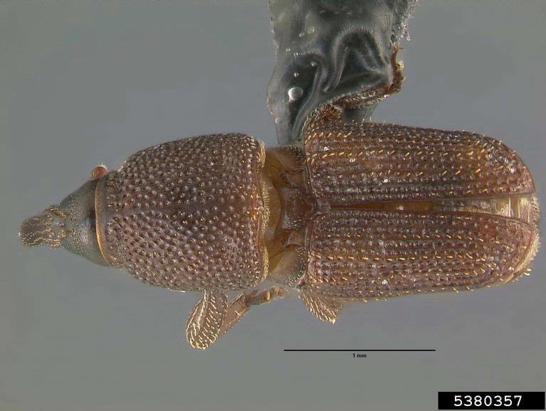 Gorgulho / Sitophilus oryzae /