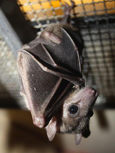 Nilflughund / Egyptian Fruit Bat (Rousettus aegyptiacus) (by Sexecutioner)