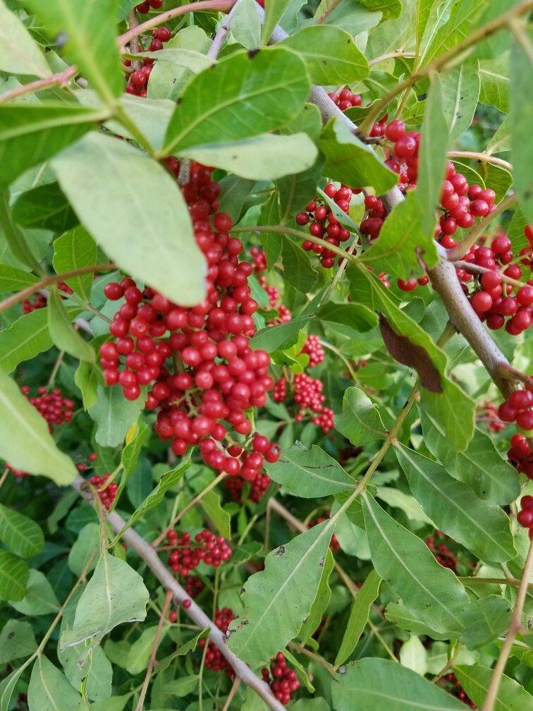 Brazilian pepper tree Stuart FL invasive from S America not