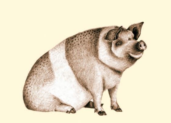 #pig #boar #sow #hog #illustration #farm #drawing #sketch #pencil
