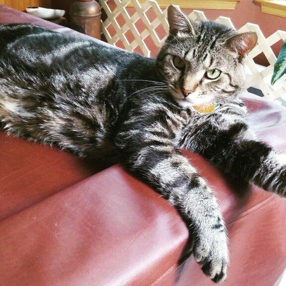 Snow Bengal Tabby Mix Tabby Kitty Animals