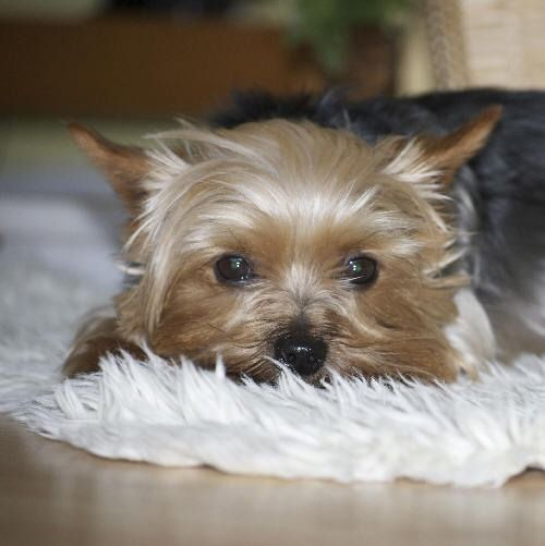 Does Your Pet Have Ear Mites Cute Animals Pets Cute Dogs
