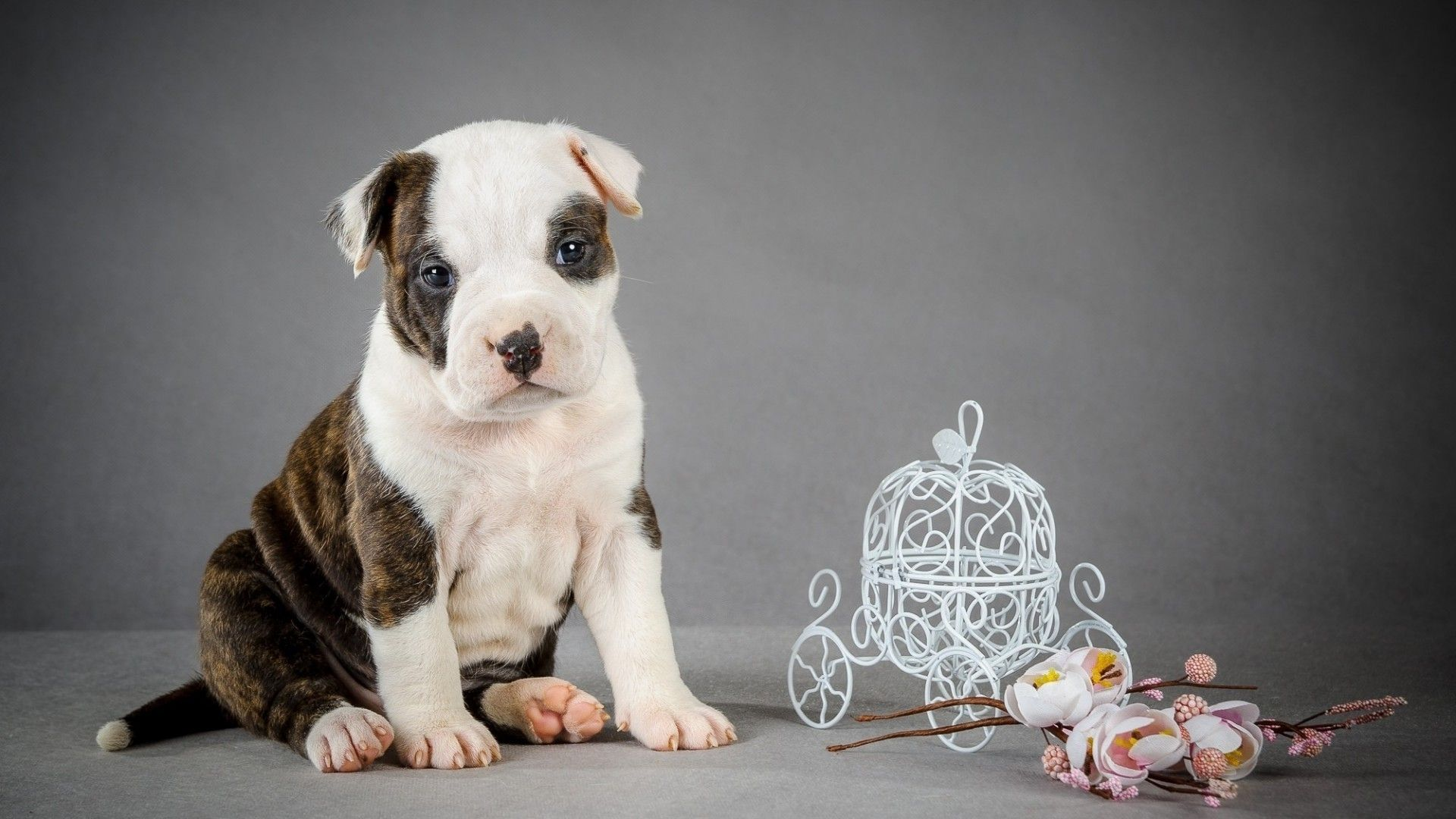 Pitbull Wallpapers The Most Beautiful Pitbull Pupy Best Wallpaper Collection Dog Wallpaper Pitbull Wallpaper Pitbull Dog