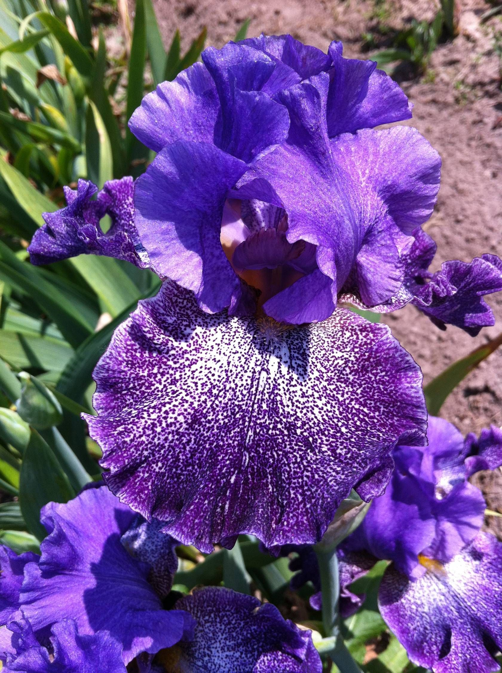 Celestial explosion fragrant german iris the iris the rainbow celestial explosion fragrant german iris the petals are heavily speckled with white izmirmasajfo