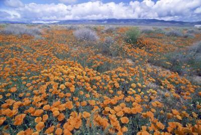 Cómo cultivar grandes amapolas de California    eHow en Español