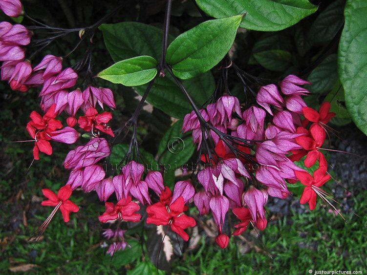 Bleeding Heart Vine Clerodendrum Shade No Direct Sunlight Bushy Tropical Twining Vine Evergreen Bloom Plants Bleeding Heart Fertilizer For Plants