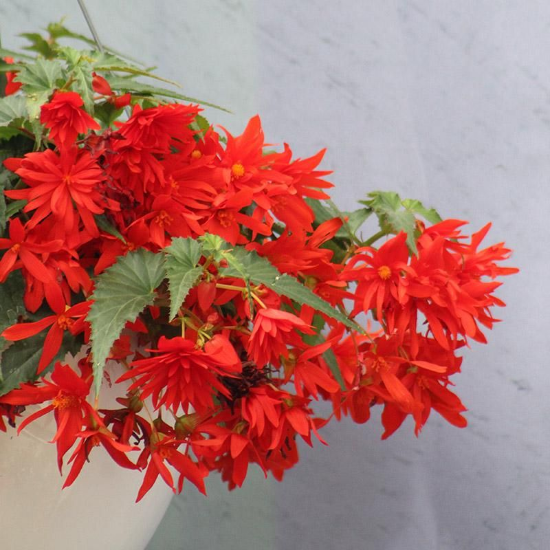 Begonia Funky Orange F1 Begonia Flower Seeds Flowers