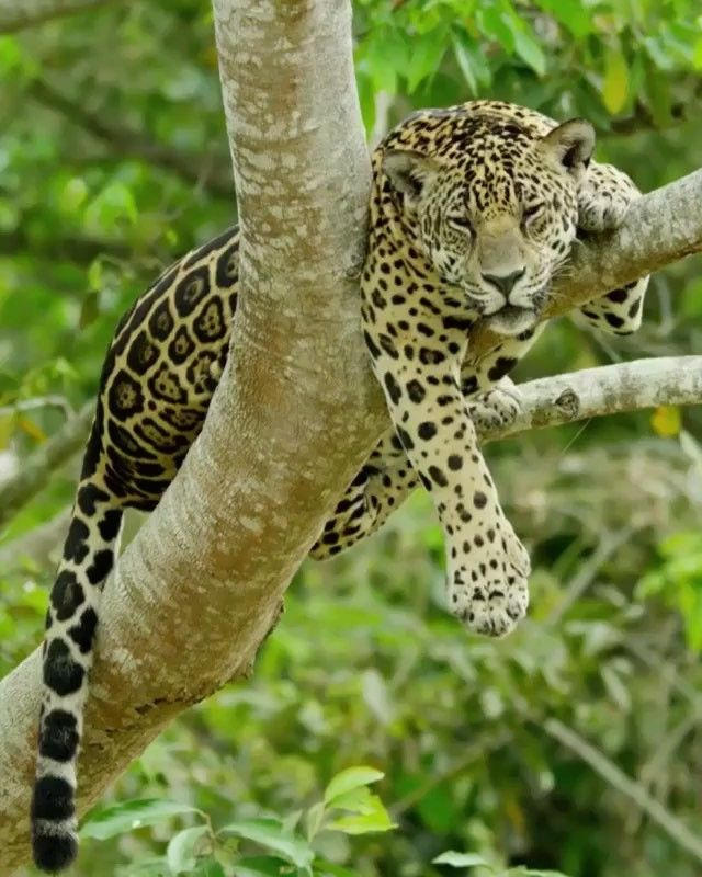Tap Image For Travel Information   Jaguar Encounters In Brazil! Who Has  Seen These Beautiful