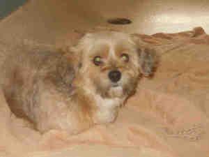 Lena Is An Adoptable Shih Tzu Dog In Tampa Fl With Images Shih Tzu Dog Shih Tzu Dogs