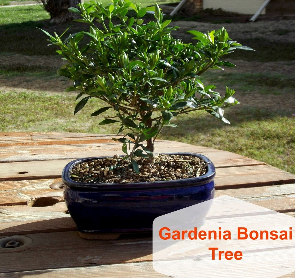 Gardenia Bonsai Tree!