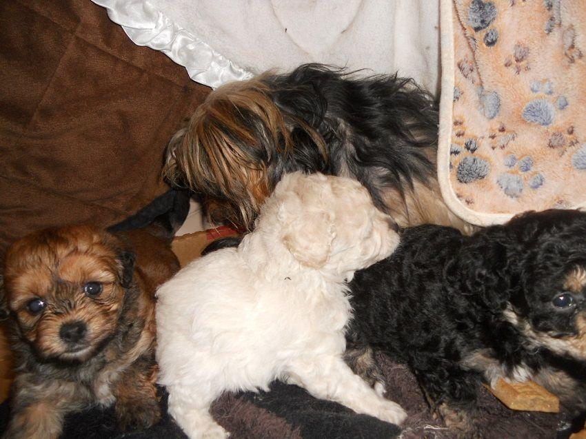 Beautiful Yorkiepoo S Males Yorkie Poo Puppies Animals