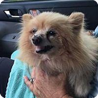 Adopt A Pet Betty Venice Fl Pomeranian For Adoption Pets