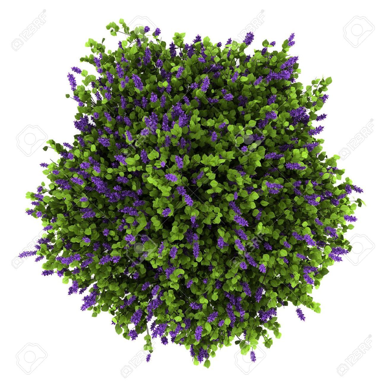 13990833 Top View Of Lilac Flowers Bush Isolated On White Background Stock Photo Jpg 1300 1300 Trees Top View Shrubs For Landscaping Flowering Trees