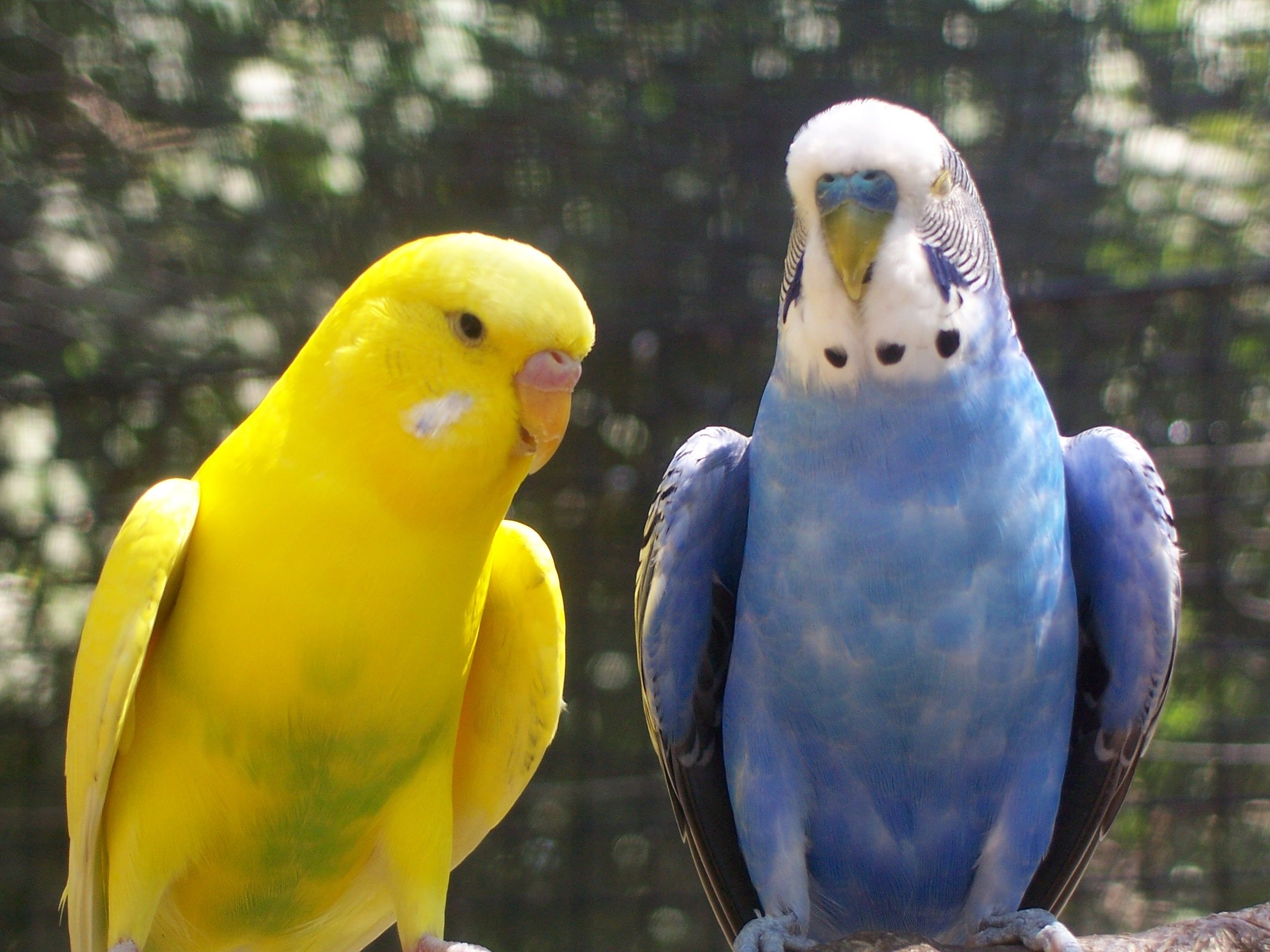 Budgerigar (Melopsittacus undulatus) | Australian parrots ...