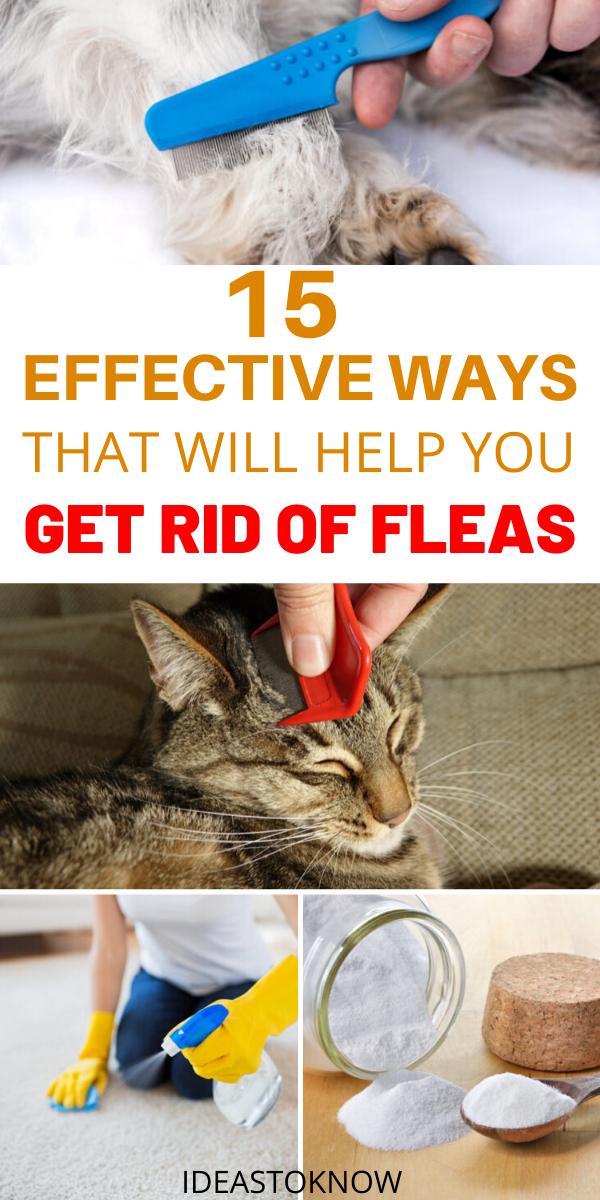 15 Effective Ways To Get Rid Of Fleas In 2020 Fleas Dog Flea Remedies Cat Fleas