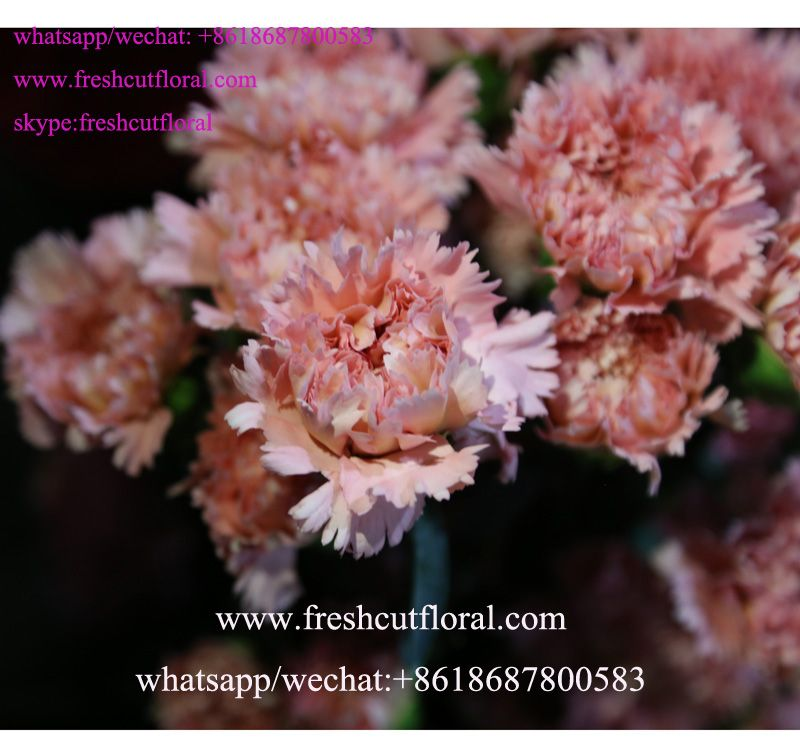 Whatsapp 8618687800583 Wholesale Directory Pink Carnation Flower And Red Rose Flower Garden For Order Flower Order Flowers Online Red Rose Flower Order Flowers
