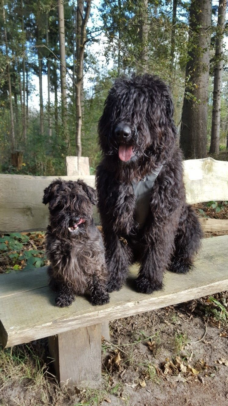Pin By Carrie Olerich On Hundemami Mit Puppies Black Russian Terrier Flanders Cattle Dog Bouviers Des Flandres