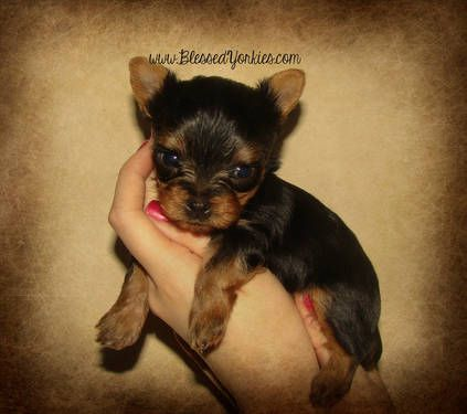 Yorkshire Terrier Champions Bloodline By Blessed Yorkies Yorkshire Terrier Yorkie Terrier