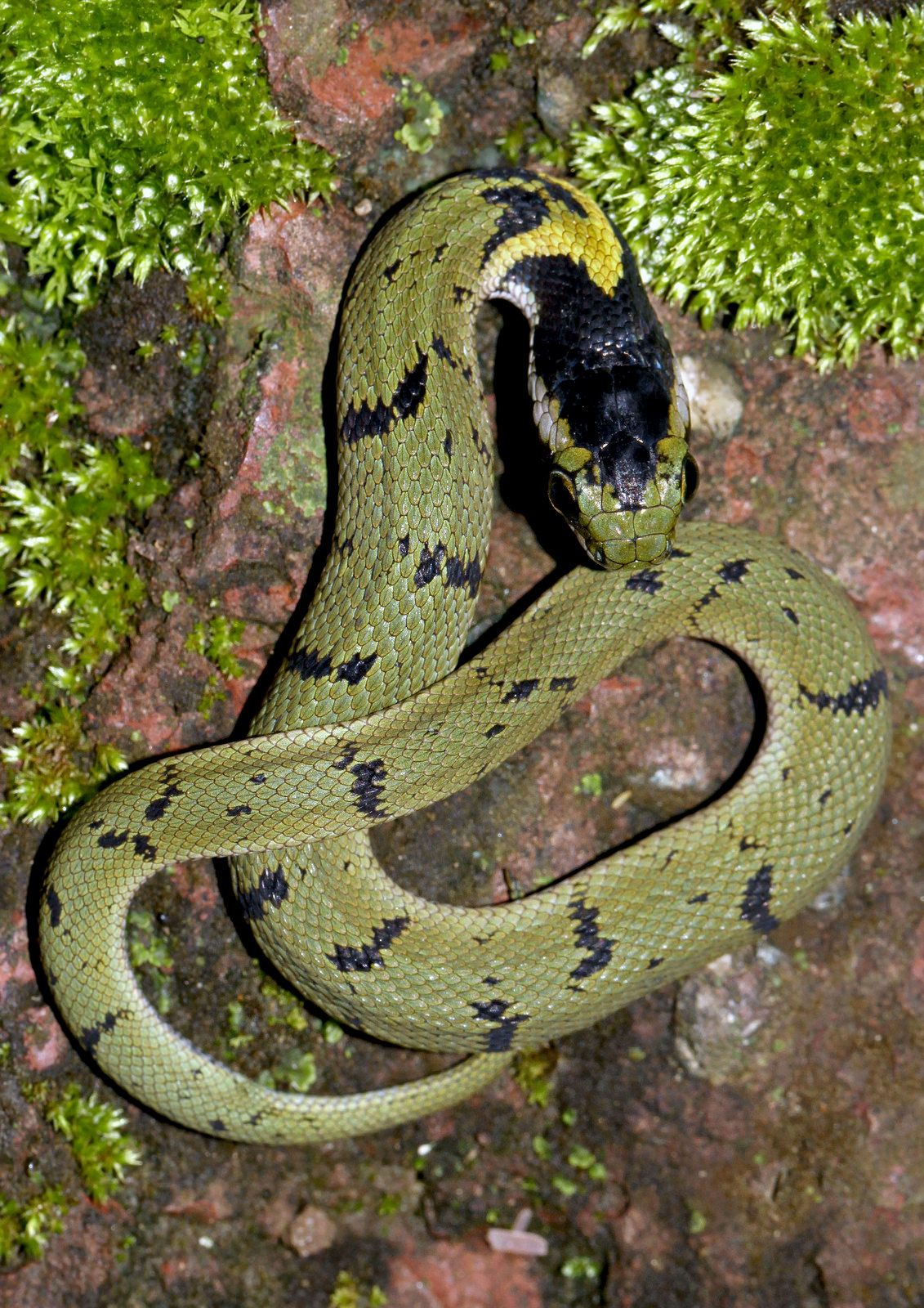 Green Keelback Macropisthodon Plumbicolor Reptiles And