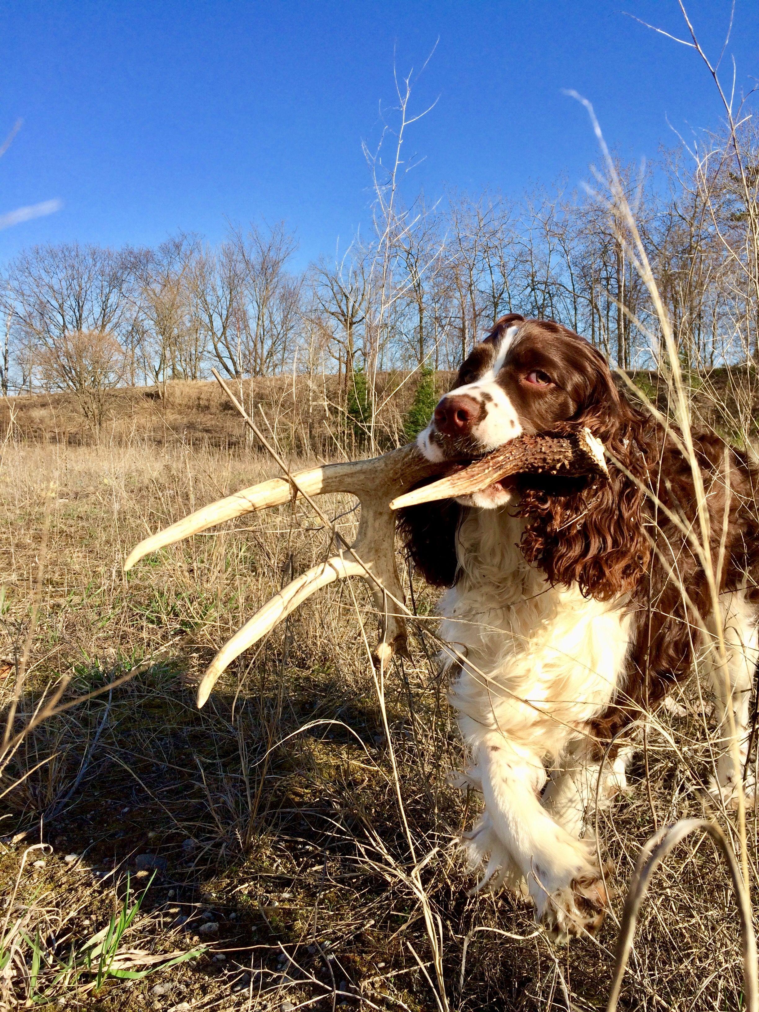 Antler Springer Spaniel Hunting Sheds