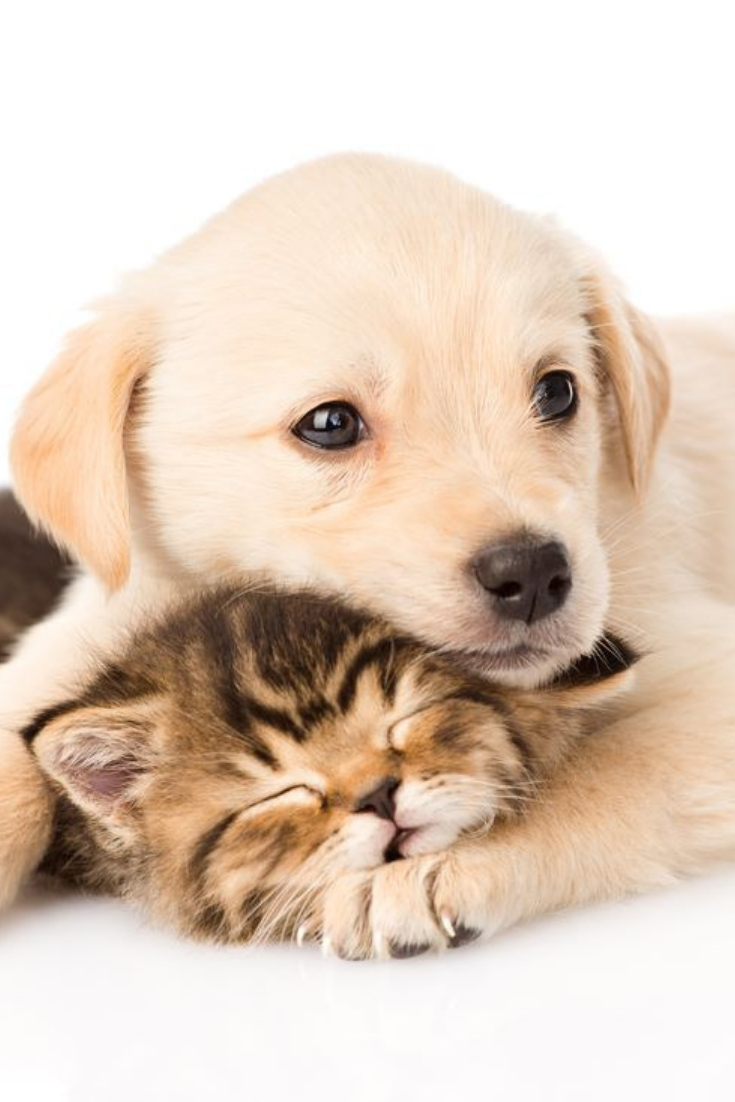 Golden Retriever Puppy Dog Hugging Sleeping British Cat Isolated On White Background Goldenretriever Kittens And Puppies Cute Cats And Dogs Puppy Wallpaper