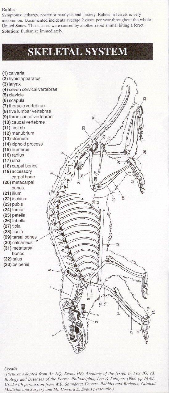 Ferret anatomy … | Pinteres…