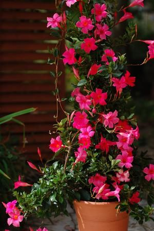 Mandevilla Sun Parasol Pretty Deep Pink Where Flowers Bloom
