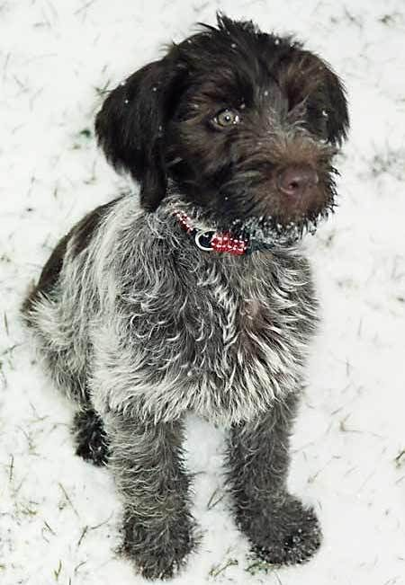 Bacchus The Wirehaired Pointing Griffon Dogs Griffon Dog Hunting Dogs