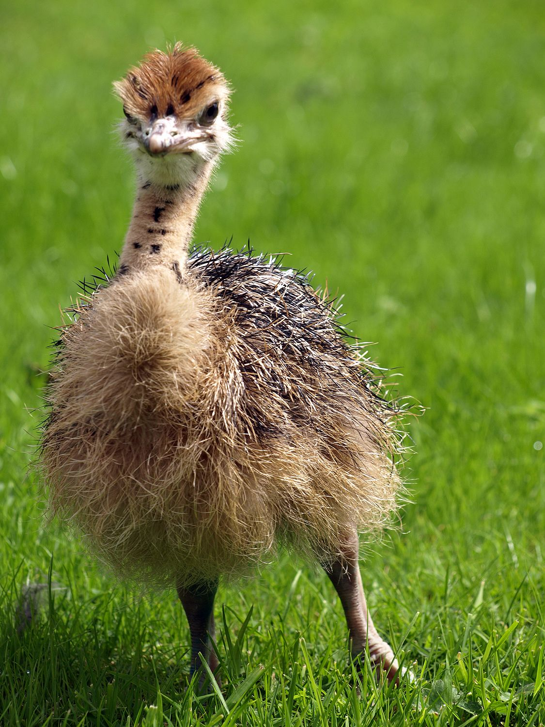 baby ostrich photo by tom wood baby animal ostrich ostrich