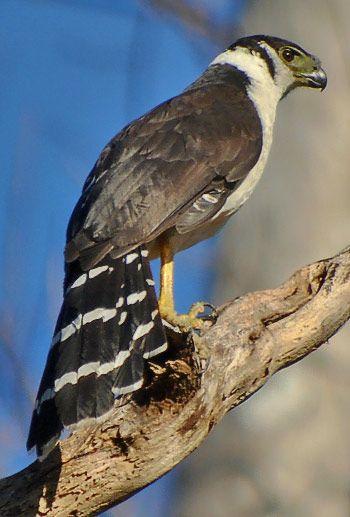 The Collared Forest Falcon (Micrastur semitorquatus) is a species of bird of prey in the Falconidae family. It is found in Argentina, Belize, Bolivia, Brazil, Colombia, Costa Rica, Ecuador, El Salvador, French Guiana, Guatemala, Guyana, Honduras, Mexico, Nicaragua, Panama, Paraguay, Peru, Suriname and Venezuela.