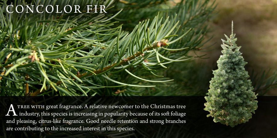 1000+ images about Christmas Tree Species on Pinterest | Trees ...