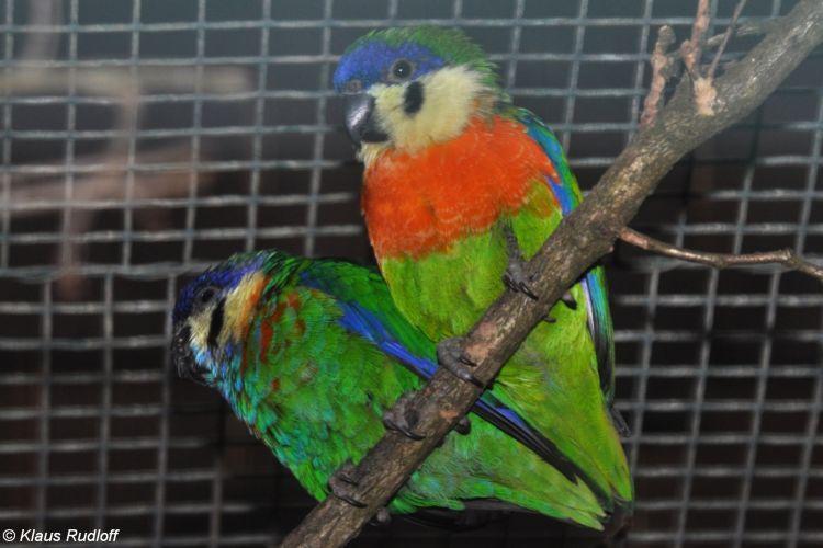 Cyclopsitta gulielmitertii - Orange-breasted Fig-parrot