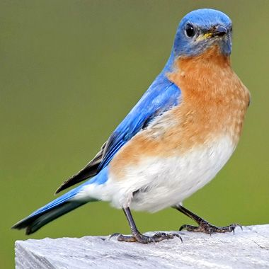 how to attract bluebirds to the garden