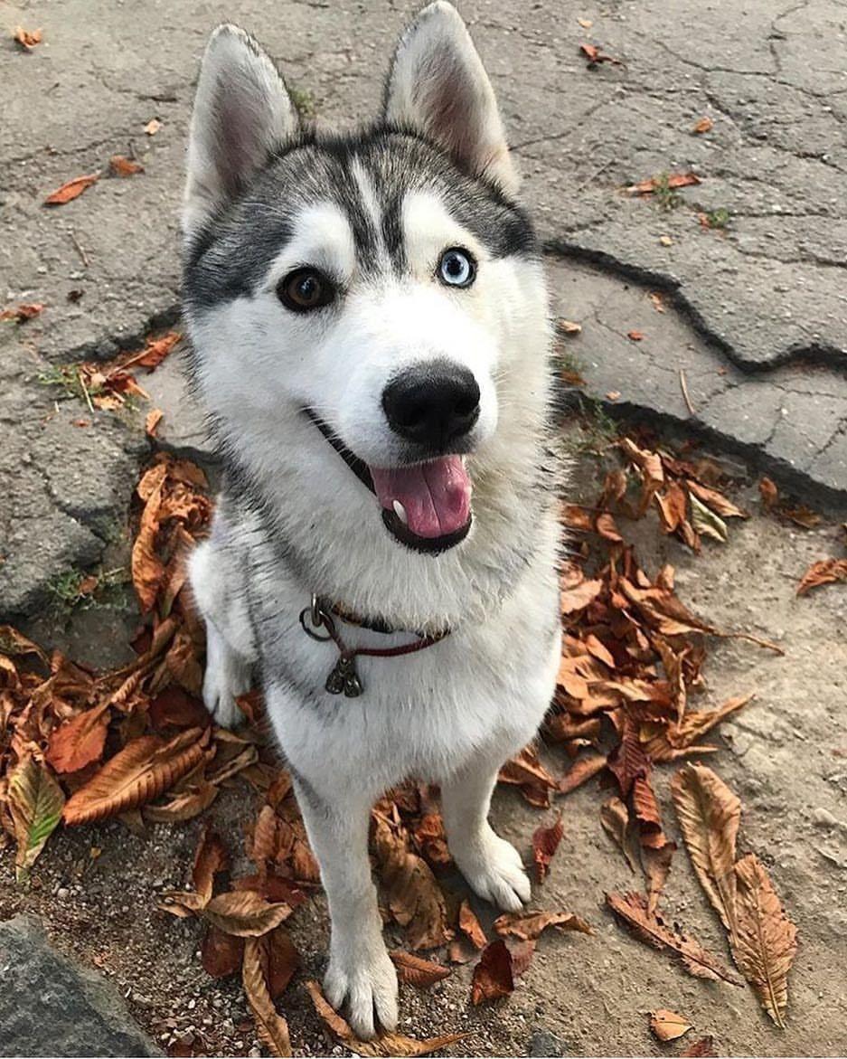 Siberian Husky Siberianhusky Husky Siberian Husky Dog