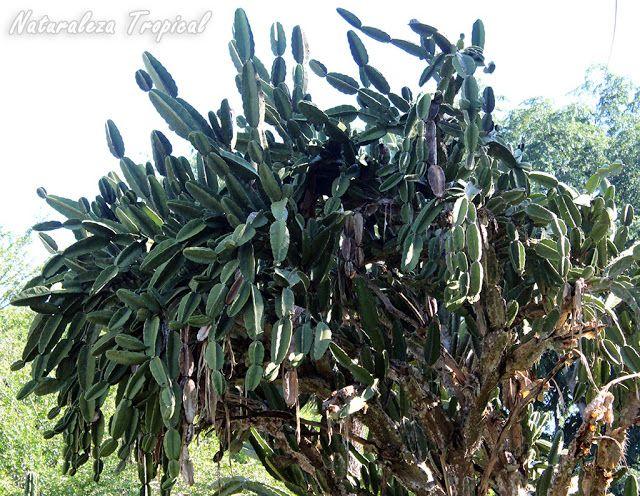 El aguacate cimarr n es una especie arbor cola cubana - Informacion sobre los cactus ...