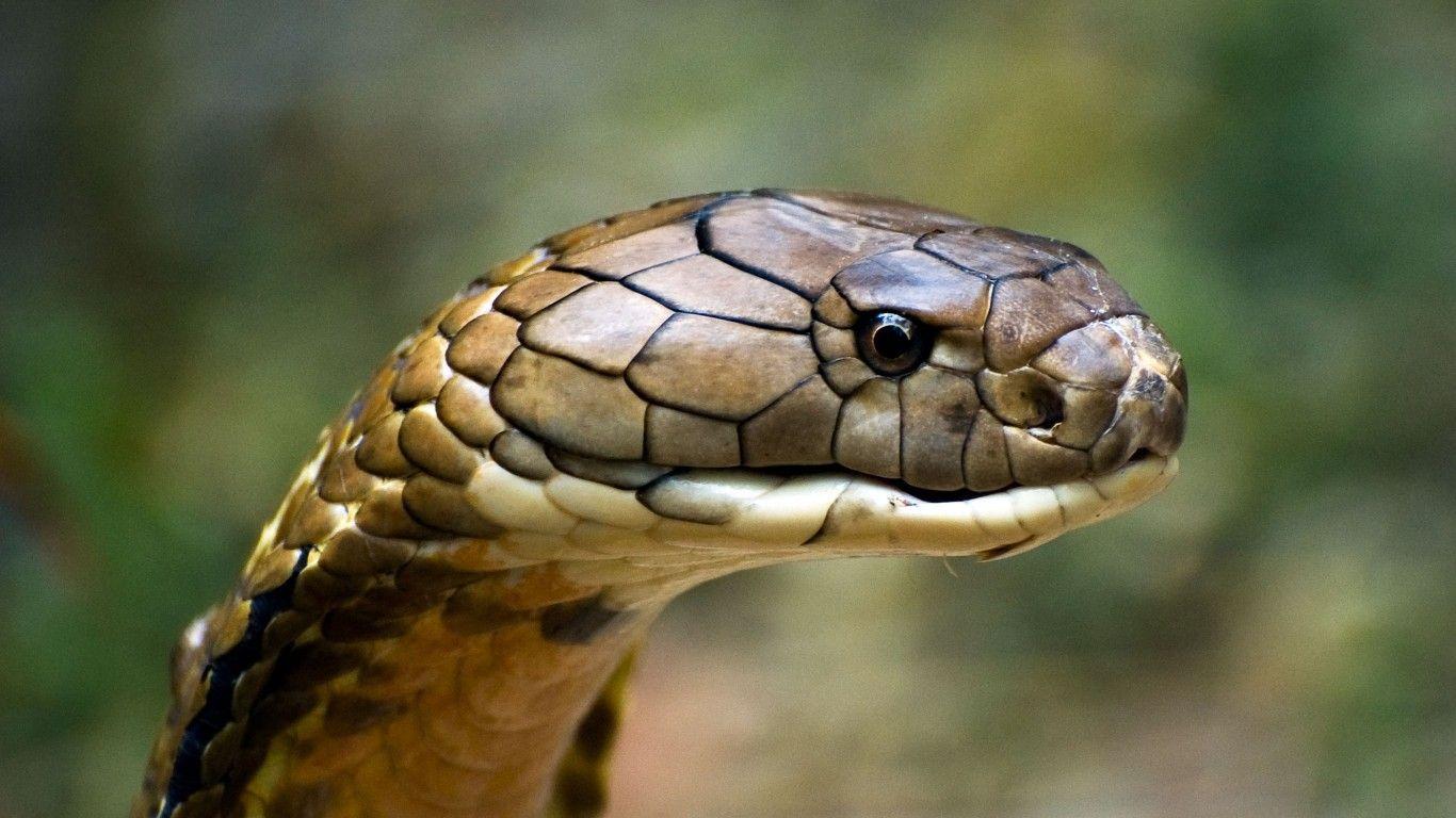 Image For Cobra Snake Wallpaper High Quality Resolution Kme3z
