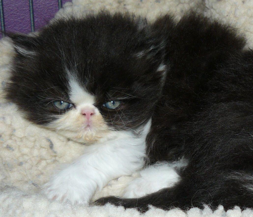 Extreme Face Black & White Bi color Persian Kitten