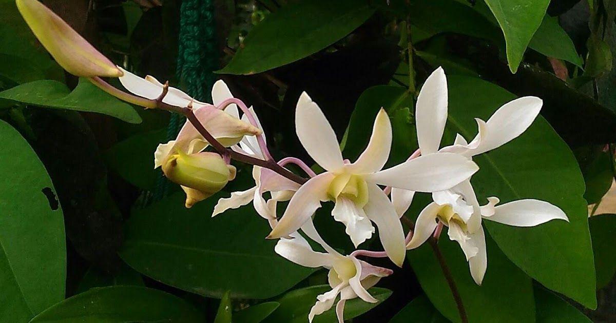 14 Gambar Bunga Anggrek Yang Bagus Pesona Bunga Anggrek Yang Mengagumkan Download Cara Melakukan Pemupukan Bunga Anggrek Tanamanku Ne Di 2020 Bunga Tanaman Gambar