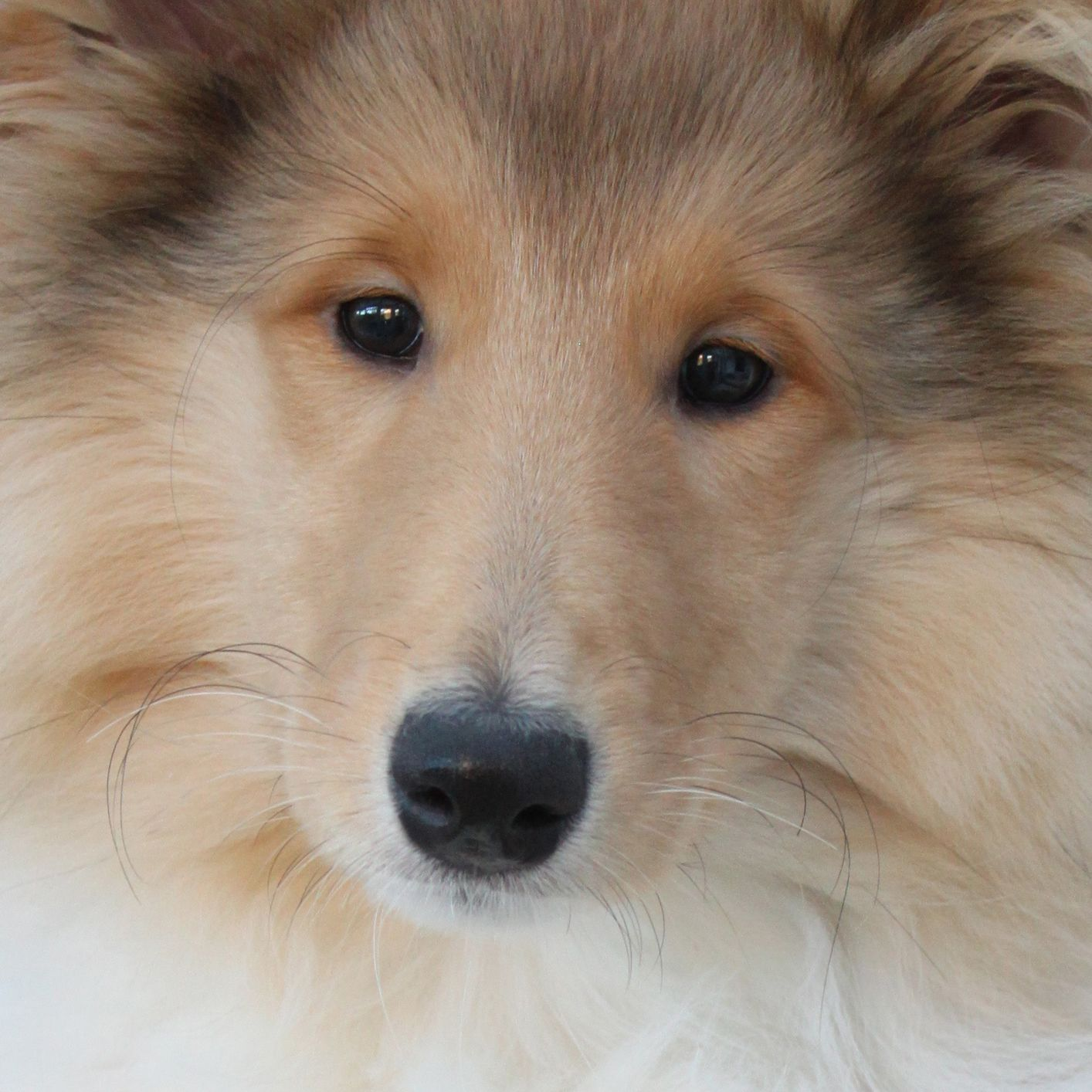 Baby Bella 14 Week Old Rough Collie Puppy Collie Dog Collie