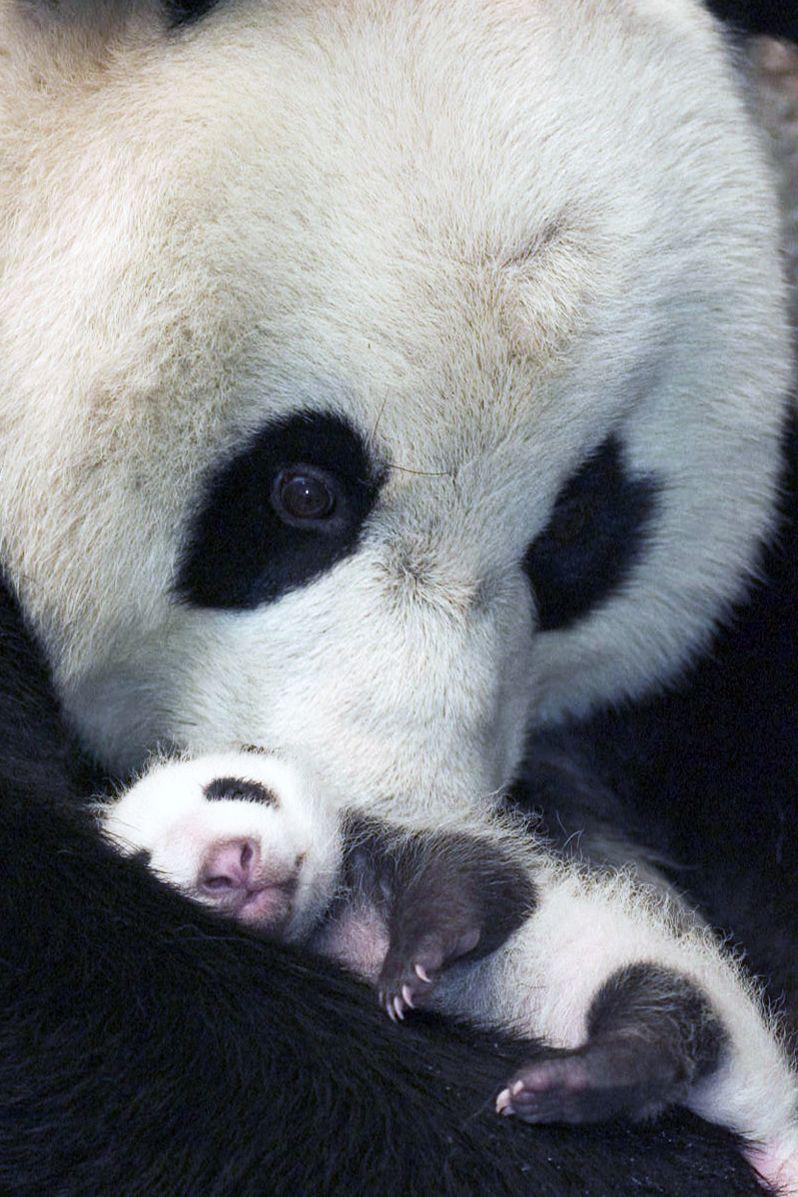 Panda bebé y mamá
