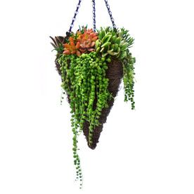Trailing Succulents Hanging Basket @ Lowes (WANT)