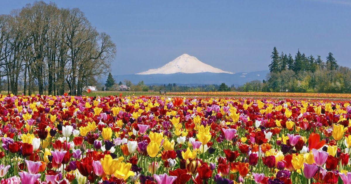11 Pemandangan Taman Yg Indah Terletak Di Daerah Lembang Sekitar 20 Kilometer Di Utara Kota Bandung Gunung Yang Bentuknya Menye Di 2020 Kebun Bunga Bunga Tulip Bunga