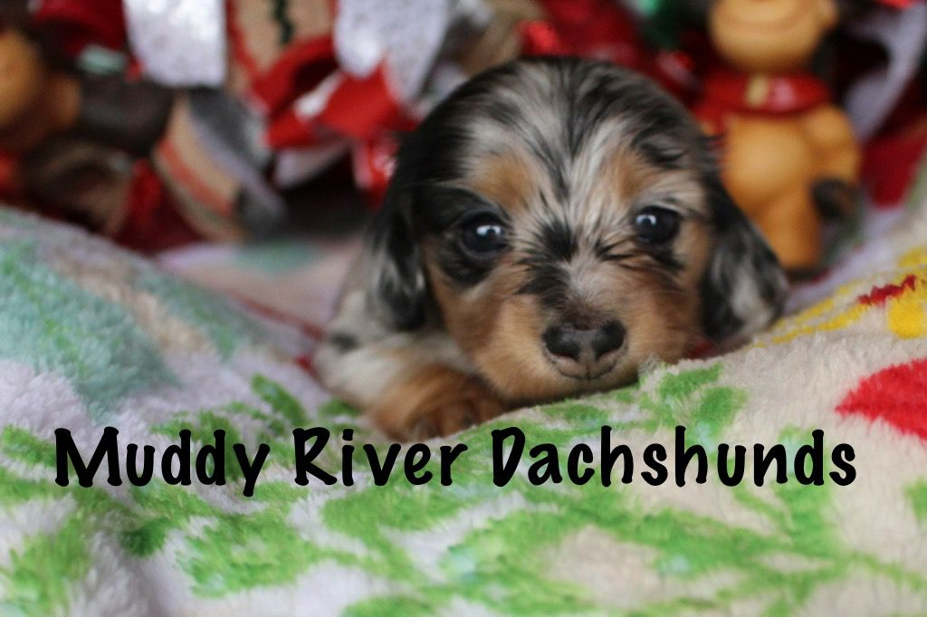 Akc breeder miniature dachshunds (With images) Dachshund