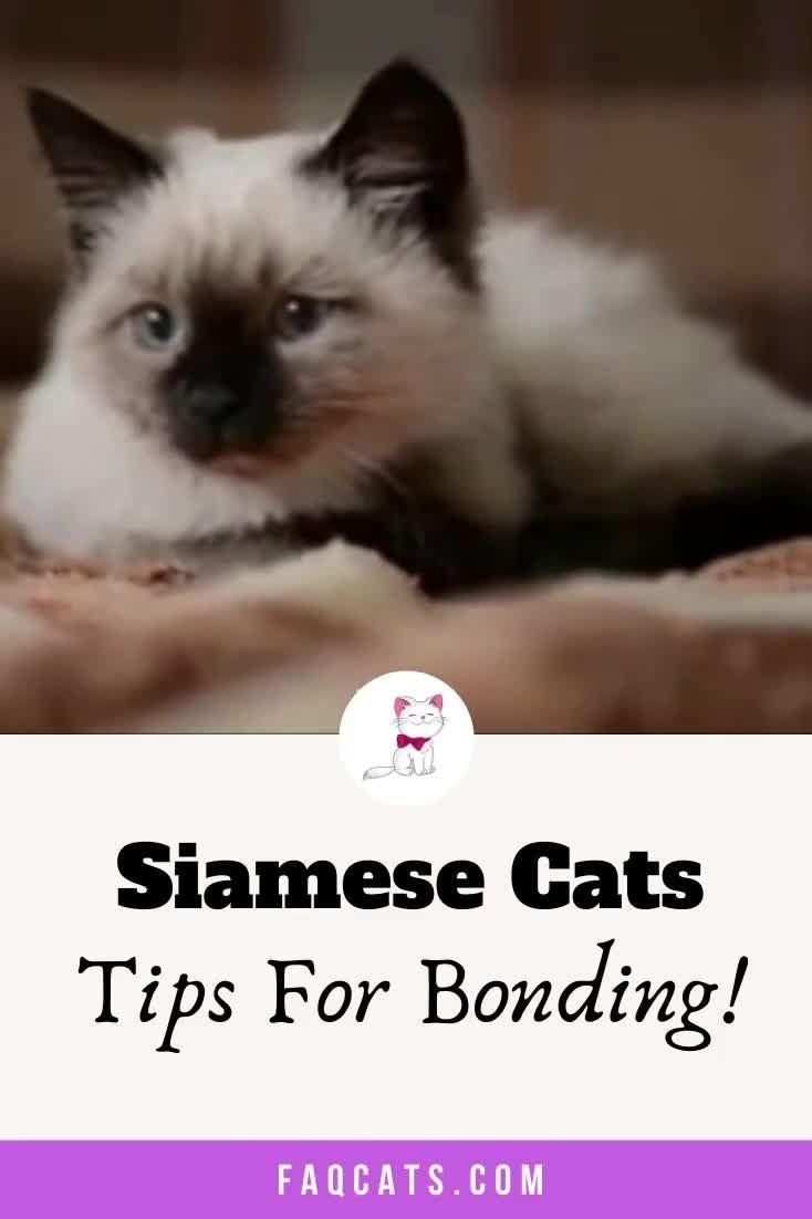 Pin On Siamese Cats